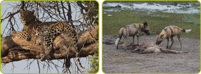 Leopard and Wild Dogs